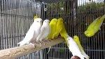 albinomuhabbet.jpg