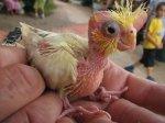 Cockatiel_chick_held_in_hand.jpg