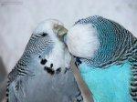 parakeets-budgies-58muhabbetseks.jpg