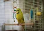 budgie-in-cage.jpg