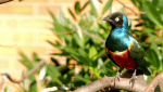 the-superb-starling-lamprotornis-superbus-is-a-member-of-the-starling-family-of-birds-it-was-f...png