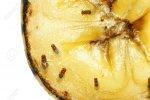 14891716-macro-of-common-fruit-flies-drosophila-melanogaster-on-piece-of-rotting-banana-fruit-.jpg