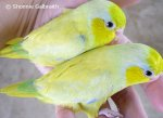 yellowparrotlets.jpg