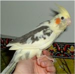 large-Cockatiel pied.jpg