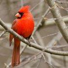 Kırmızı kardinal kuşu