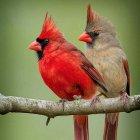 Kırmızı kardinal ispinozları